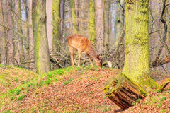 Deer in european forest. Photograph of a deer looking for its pack in a forest in the czech republic Stock Photography