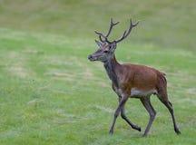 Deer European. Shooting in the wild Royalty Free Stock Photo