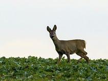 European deer - European roe. Deer European, shooting in the wild Stock Image