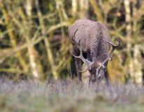 European deer - European roe. Deer European, shooting in the wild Royalty Free Stock Photos