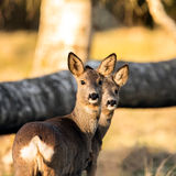 Deer in evening light Royalty Free Stock Images