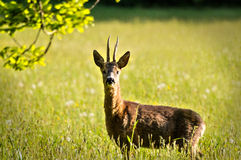 Deer in evening sun. After some sneaking it was about 7 meters away Stock Photo