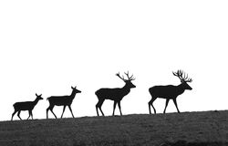 Deer evolution. Silhouettes of deers on pasture stock photography