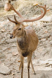 Deer With Exceptionally Long Antler. At Chiang mai zoo, Thailand stock image