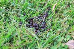 Deer excrements in the grass. Deer poop. Animals dung. Animal defecate. Waste of Animal stock image