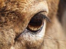 Deer eye. Close-up of deer eye Stock Photos