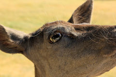Eyeball. A close look at a deers face, eye and preorbital gland Stock Photos