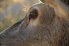 Deer eye close-up Royalty Free Stock Photography