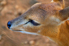 Deer Eye Royalty Free Stock Image
