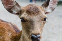 Deer eyes. A deer close-up eyes Royalty Free Stock Photo