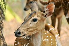 Deer face Stock Photography