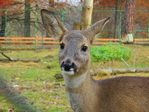 Deer. Face Royalty Free Stock Photo