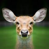 Deer face close up Stock Image