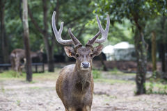 Deer face to face Royalty Free Stock Image