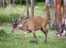 Deer with the falling-off horns. Mauritius Royalty Free Stock Photos