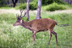 Deer with the falling-off horns under a drizzle. Mauritius Royalty Free Stock Photo