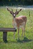 Deer fallow Stock Images