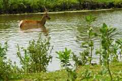 Deer and fallow deer at the watering Royalty Free Stock Photo