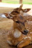 Deer. Fallow deer laying in the dirt resting Royalty Free Stock Photography