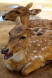 Deer. Fallow deer laying in the dirt resting Royalty Free Stock Photos