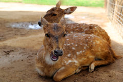 Deer. Fallow deer laying in the dirt resting Royalty Free Stock Images
