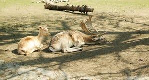 Deer family Royalty Free Stock Image