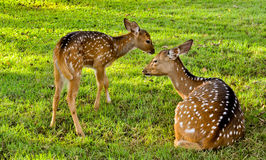 Deer family with baby n mother of deers. Ever seen natural life so close enough? this image could give explaination of a natural life of deer family. The love stock photos