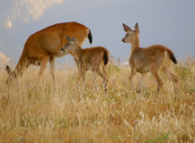 Deer family Royalty Free Stock Photos