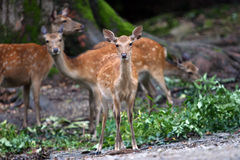 Deer family. Deers in the wild Royalty Free Stock Photos