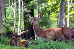 Deer. Family of deer in the Alps Stock Photography