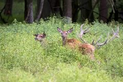 Deer family in the clearing stock images