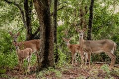 Deer family Stock Images