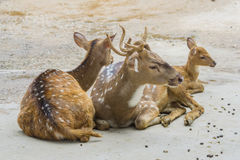 Deer family on the floor. Close up deer family on the floor Stock Photo