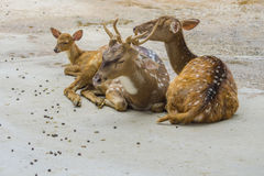 Deer family on the floor. Close up deer family on the floor Royalty Free Stock Images