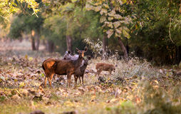 Deer family in a forest Royalty Free Stock Images