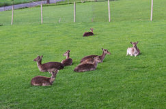 Deer family in green grass Stock Image