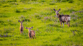 Deer Family royalty free stock image