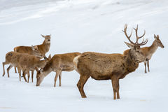Deer family portrait while looking at you Stock Image