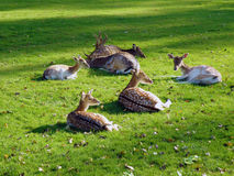 Deer family resting on grass Royalty Free Stock Photography