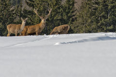 Deer Family on the snow Stock Images