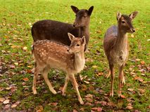 Deer family together in the zoo park. Deer family, child and mother, gathered together, on the grass in park, waiting for attention and food Stock Image