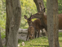 Deer family Stock Photography