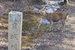 Deer and the famous and historical TodaiJi in Nara Park Royalty Free Stock Photos