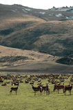 Deer Farm. Many deer in a pasture scene with hills in background Stock Image