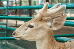 Staring deer. Deer in farm Beauty Animal head Stock Photos
