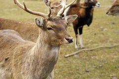 Deer farm Stock Images