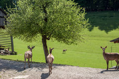 Deer farm with green field Stock Images