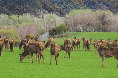 Deer farm, herd of deer on green field in New Zealand stock photo