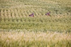 Deer in Farmers Field Stock Photo