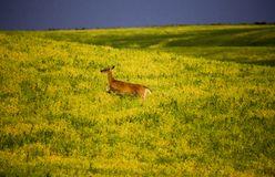 Deer in Farmers Field Royalty Free Stock Photos